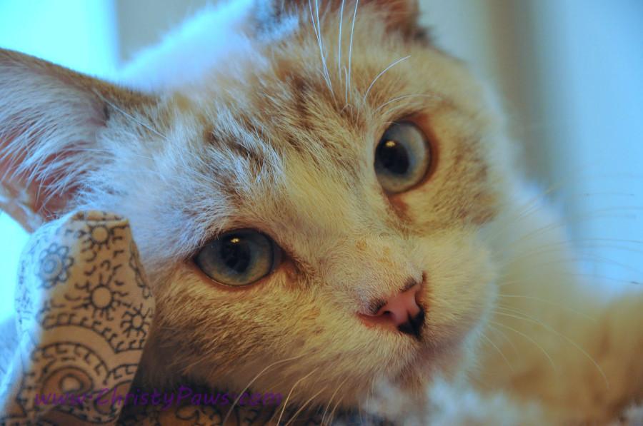 foster kitten JayZ