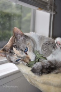 Fresh Catnip from the Garden - Christy Paws
