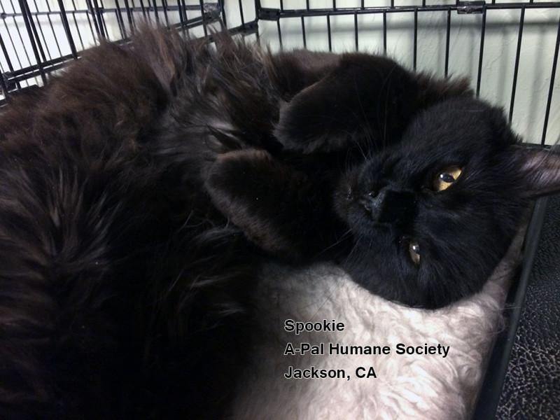 Friday's Featured Feline: Adopt Spookie