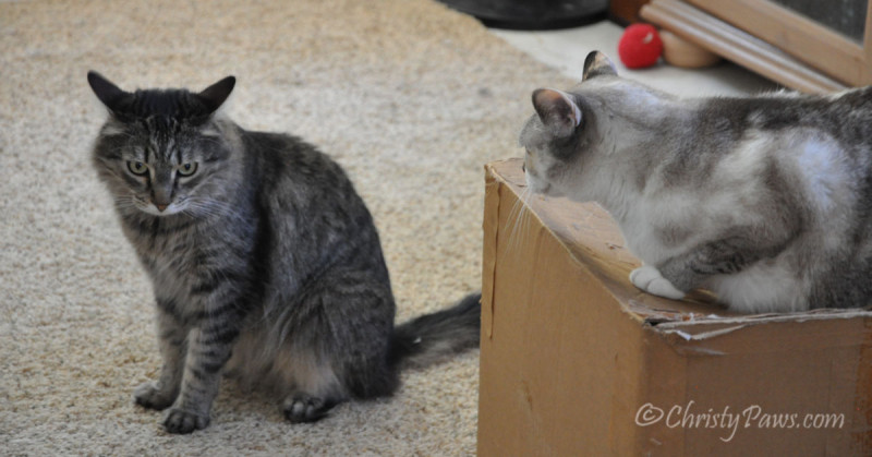 Defending my box from Echo on #CatBoxSunday #ChristyPaws