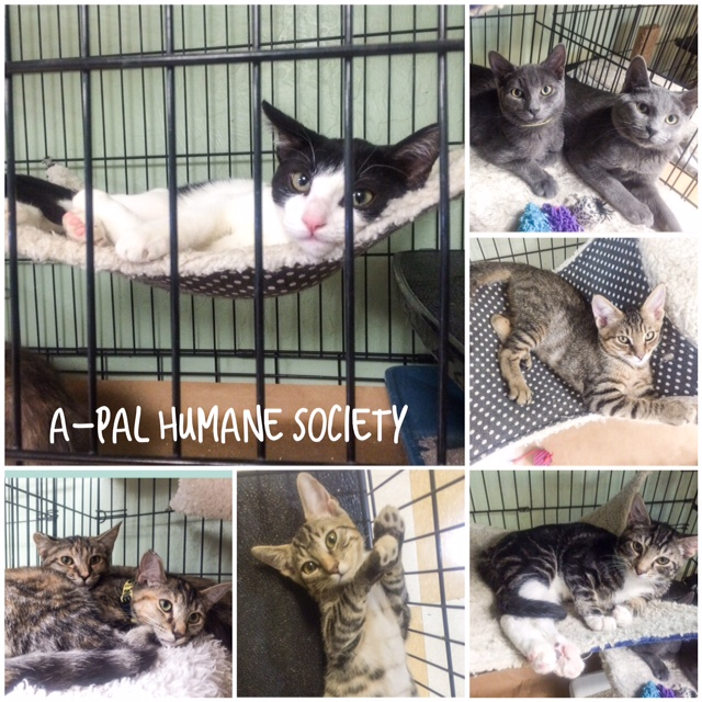 Fabulous felines available for adoption from A-Pal Humane Society
