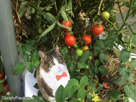 Andy in the garden with tomatoes