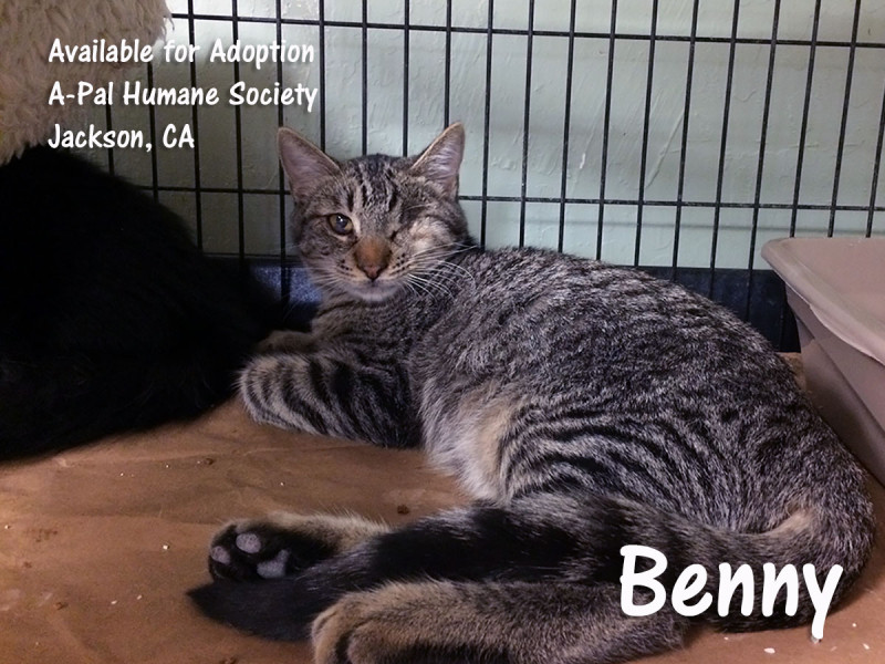 Available for adoption: neutered male, gray tabby, Benny
