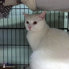 Mr. White is available for adoption through A-Pal Humane Society in Jackson, CA