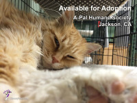 Things Will Get Better -- Available for Adoption in Jackson, CA -- orange and white female cat
