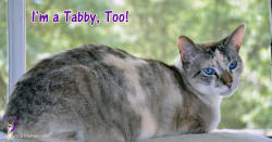 "I may not be a ""real"" tabby but I do have tabby markings. Since today is National Tabby Day, I wanted to share our tabbiness with you."