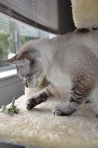 Fresh Catnip from the Garden - Christy Paws
