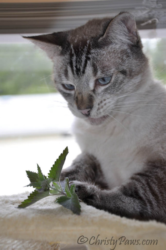 Ocean Celebrates his Birthday with Fresh Catnip