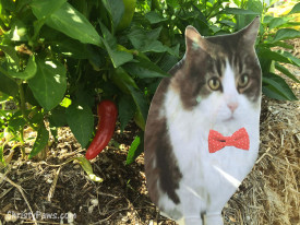 Andy in the garden with fresno chili