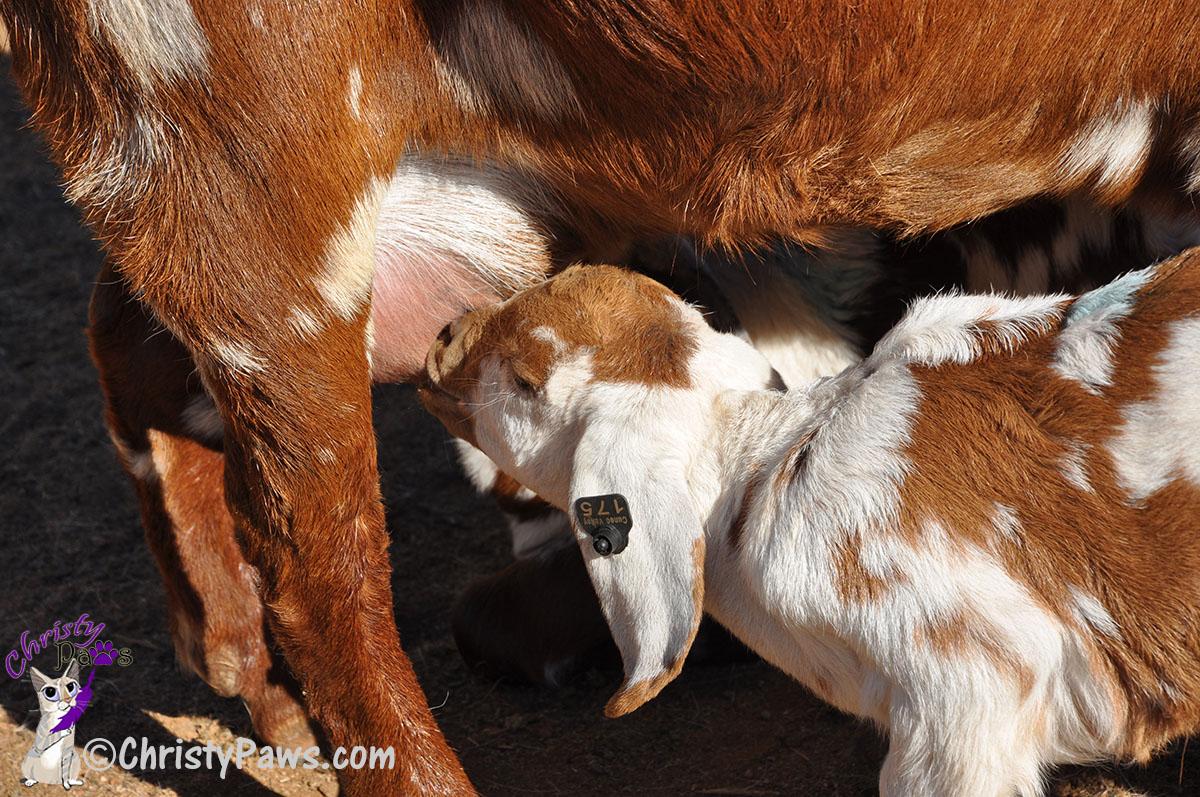 baby goat kid nursing