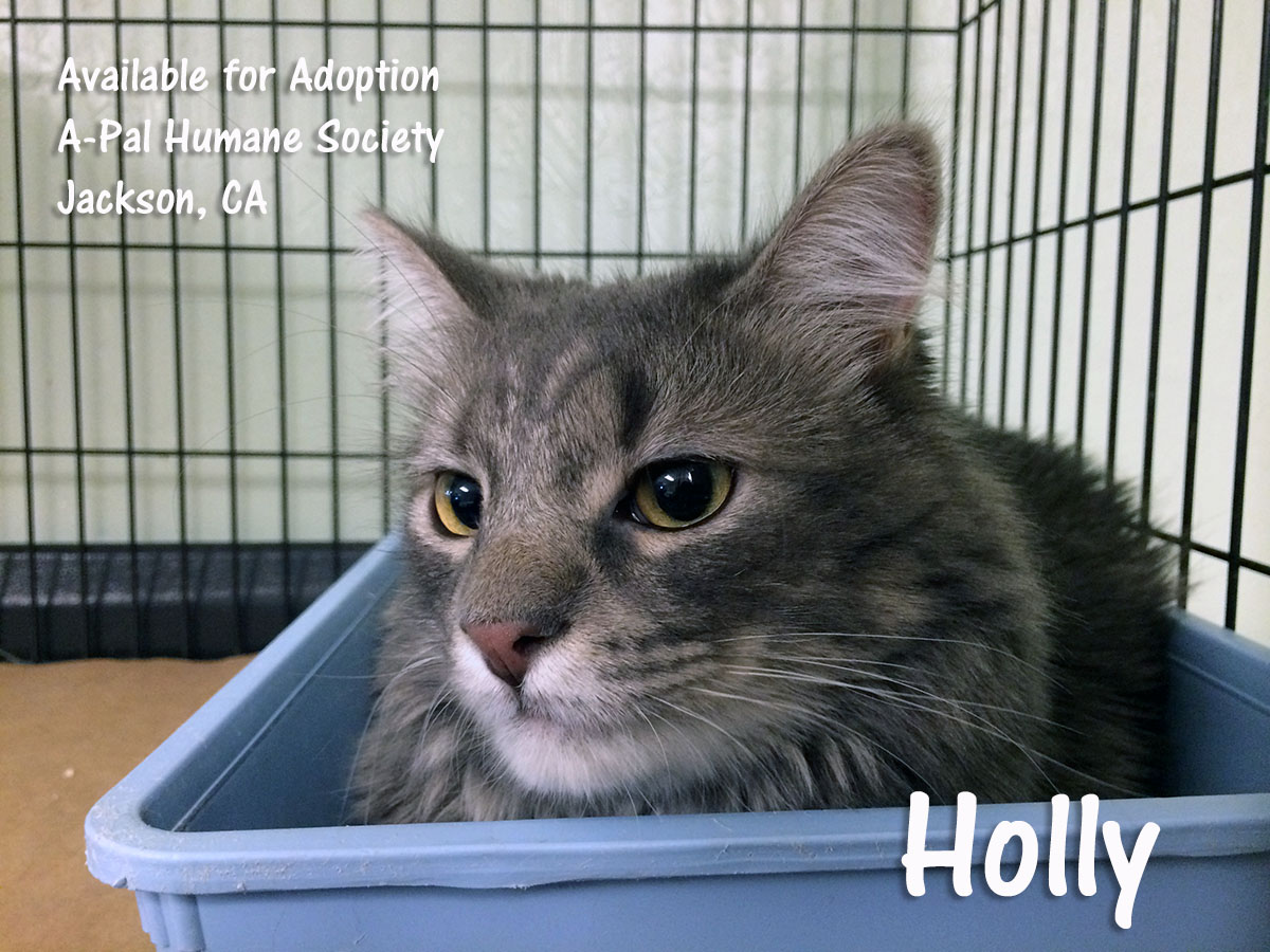 Medium to long-haired, gray, 9 months old, spayed female, Holly