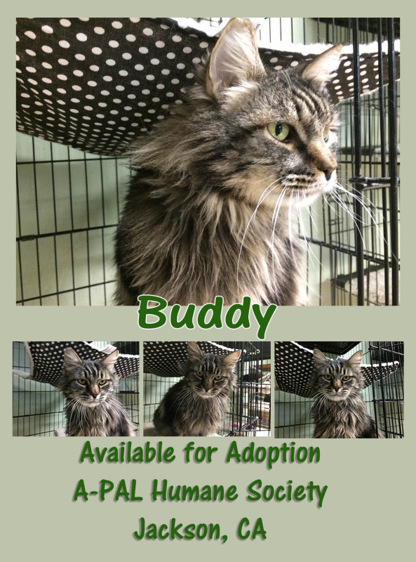 Adopt Buddy -- Available through A-PAL Humane Society, Jackson, CA