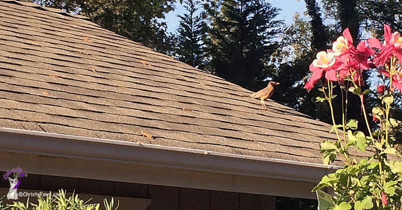 Bird on garage roof gathering seeds in spring