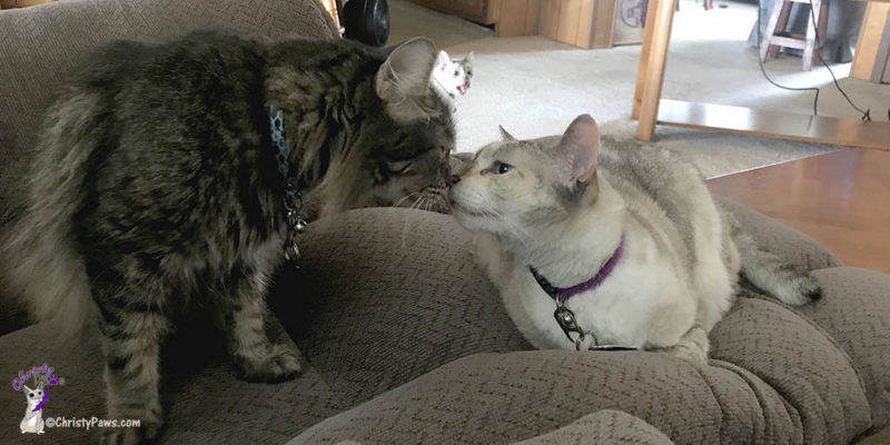 two cats touching noses