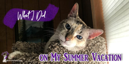 blue-eyed cat in cat tree with text overlay: What I did on my summer vacation