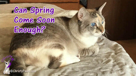 blue eyed cat laying on bed with text overlay: Can Spring Come Soon Enough?